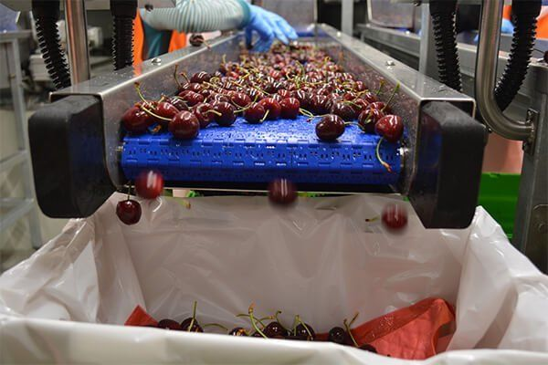 NZ Cherry Corp cherries being packed