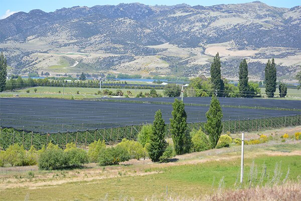 Image of a cherry orchard in Central Otago New Zealand