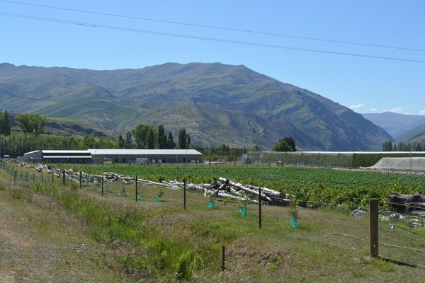 Cherry orchard with mountain in background