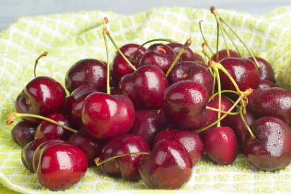 Freshly picked Lapin cherries on cheesecloth