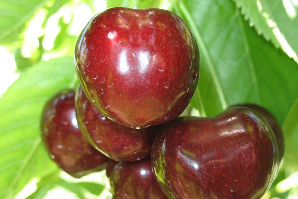 Sonnet cherries growing