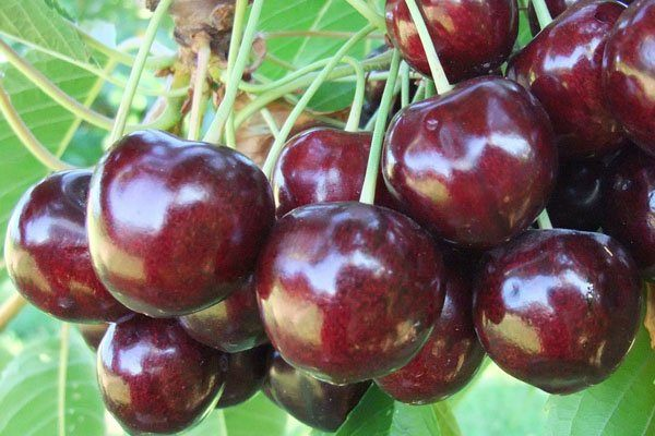 Close up shot of Staccato cherries growing