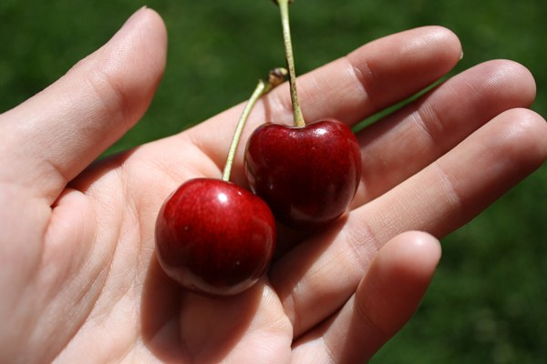 Stella cherries in someone's hand
