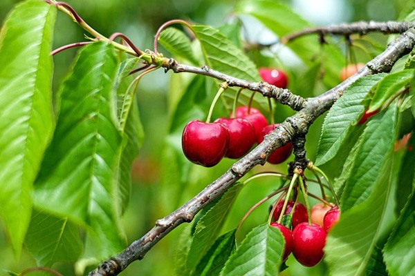Sweetheart cherries growing on a tree
