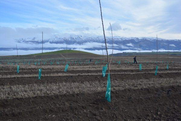 Young cherry trees in a Central Otago orchard