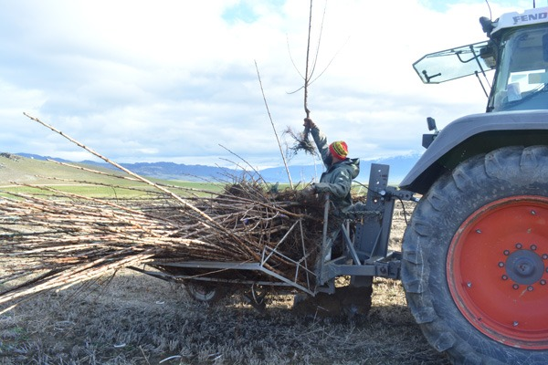 Man surveying young cherry trees on a tractor