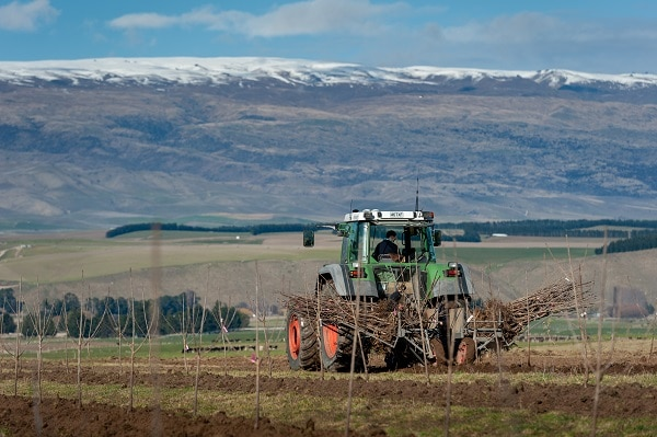Tractor carries cherry trees for planting
