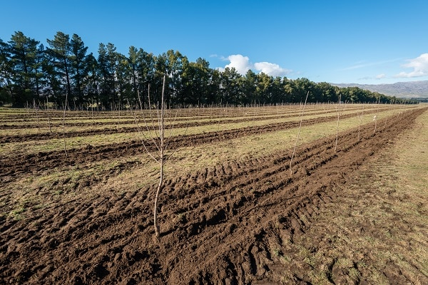 Picture of newly planted row of cherry trees
