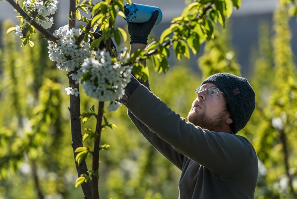 Worker tends to cherry tree