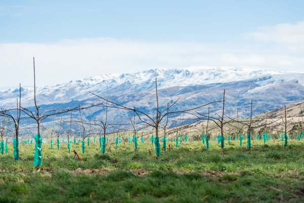 Rows of cherry seedlings with mountains in background