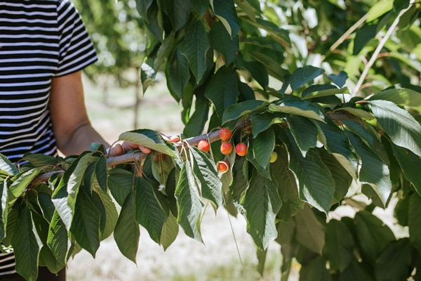Orchard worker assesses cherry tree branch